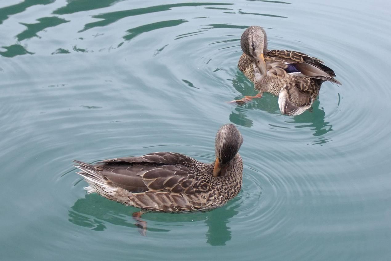 big lake alaska ducks